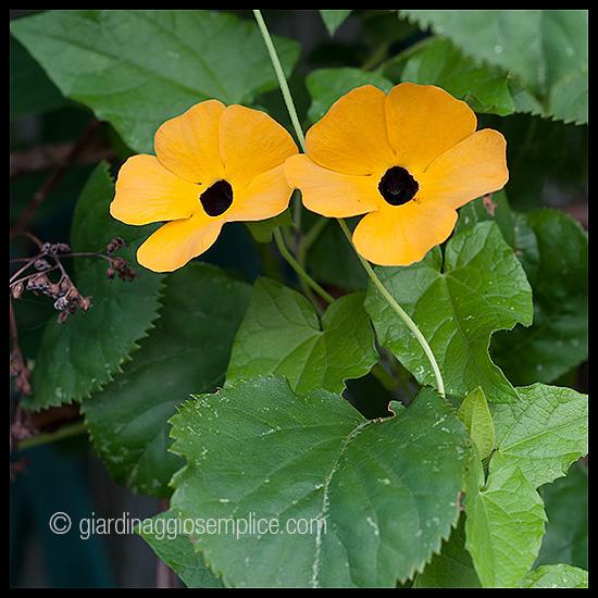 gs711_fiori-gialli