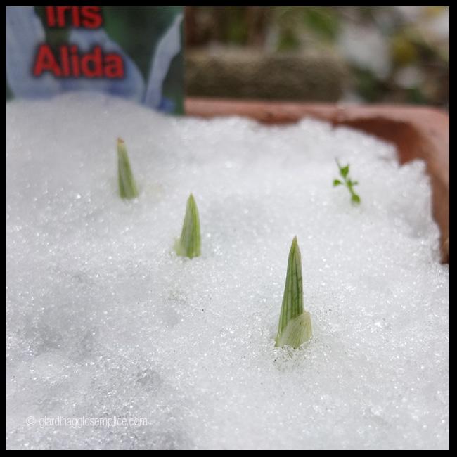 gs1094-iris-nella-neve