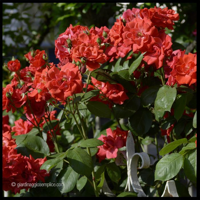 gs1194-rose-sbocciate